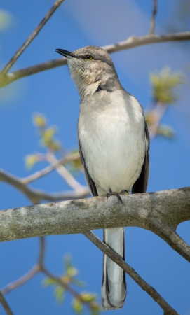 ruiseñor: Northern Mockingbird posado en un ?ol en Maryland durante la primavera Foto de archivo