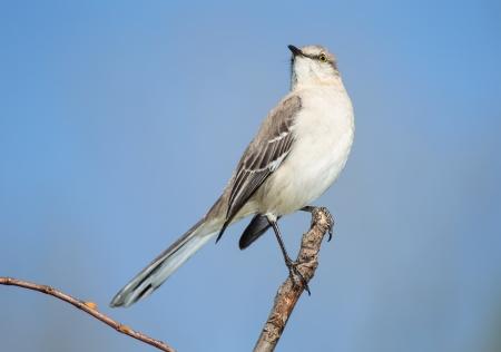 ruiseñor: Northern Mockingbird posado en una rama en Maryland durante la primavera