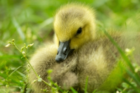 Canada Goose gosling resting in grassland in Maryland during the Spring photo