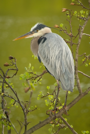 great blue heron: Great Blue Heron perching in a tree by a lake in Maryland during the Spring