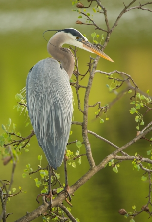 Great Blue Heron perching in a tree by a lake in Maryland during the Spring