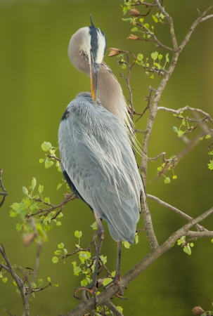 Great Blue Heron perching in a tree by a lake in Maryland during the Spring photo