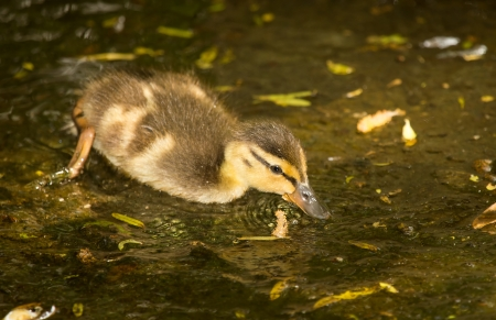 dabbling: Mallard duck duckling dabbling in a lake in Maryland during the Spring