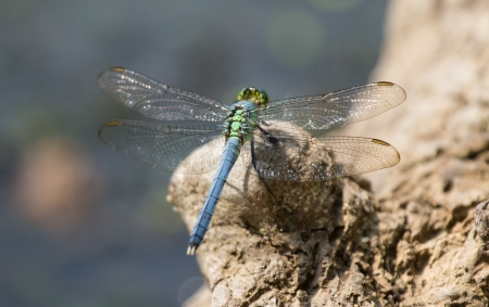 pruinescence: Eastern Pondhawk dragonfly resting on a rock in Maryland during the Spring