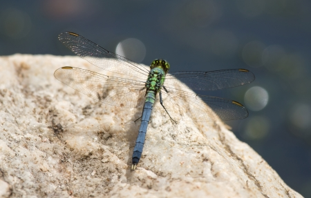 erythemis: Eastern Pondhawk dragonfly resting on a rock in Maryland during the Spring
