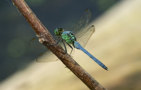 pruinescence: Eastern Pondhawk Erythemis simplicicollis dragonfly resting on a twig in Maryland during the Spring Stock Photo