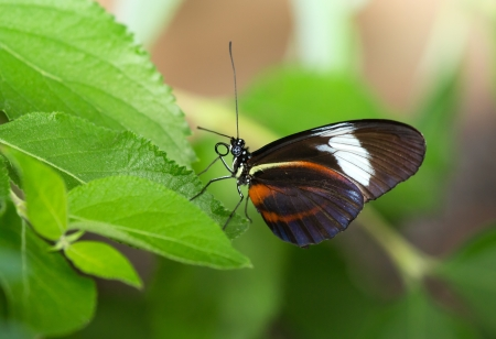 Cydno Longwing butterfly (Heliconius cydno) resting on vegetation Stock Photo - 19938498