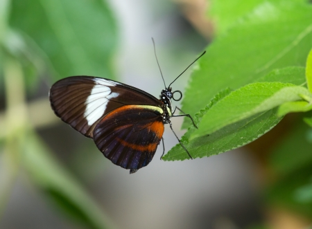 longwing: Cydno Longwing butterfly (Heliconius cydno) resting on vegetation