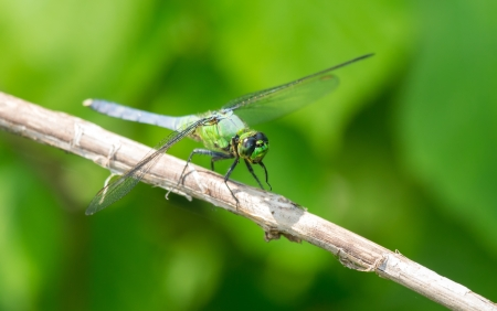 simplicicollis: Eastern Pondhawk (Erythemis simplicicollis) dragonfly resting on a twig in Maryland during the Spring