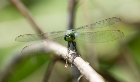 Eastern Pondhawk (Erythemis simplicicollis) dragonfly resting on a twig in Maryland during the Spring