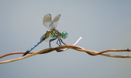 pruinescence: Blue Dasher (Pachydiplax longipennis) dragonfly resting on a wild grass stem in Maryland during the Spring Stock Photo
