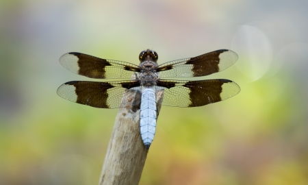 Common Whitetail (Plathemis lydia) dragonfly resting on a twig by a lake in Maryland during the Spring photo