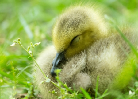 Detailed face of a Canada Goose gosling (Branta canadensis) sleeping in grassland in Maryland during the Spring photo