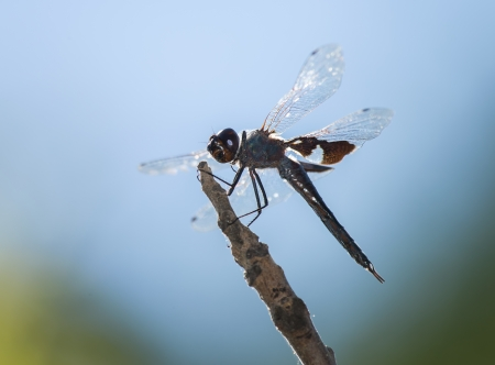 pruinose: Black Saddlebags (Tramea lacerata) dragonfly resting on a twig by a lake in Maryland during the Spring