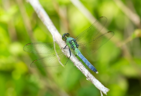 erythemis: Eastern Pondhawk (Erythemis simplicicollis) dragonfly resting on a twig in Maryland during the Spring