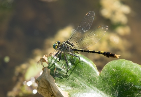 pruinose: Unicorn Clubtail (Arigomphus villosipes) dragonfly resting on a leaf by a lake in Maryland during the Spring