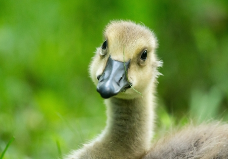 Detailed face of a Canada Goose gosling (Branta canadensis) resting in grassland in Maryland during the Spring photo