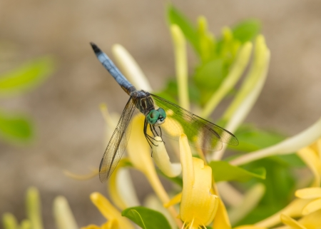 pruinescence: Blue Dasher (Pachydiplax longipennis) dragonfly resting on Honeysuckle in Maryland during the Spring