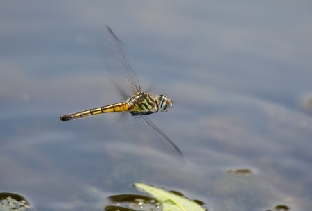 pruinescence: Female Blue Dasher (Pachydiplax longipennis) dragonfly hovering while laying eggs in Maryland during the Spring Stock Photo
