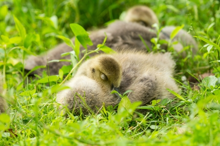 Canada Goose goslings (Branta canadensis) sleeping in grassland in Maryland during the Spring photo