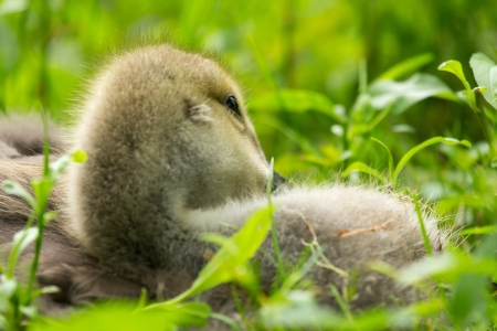 Detailed face of a Canada Goose gosling (Branta canadensis) resting in grassland in Maryland during the Spring. close up photo