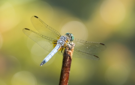 odonatology: Blue Dasher (Pachydiplax longipennis) dragonfly resting on a twig in Maryland during the Spring