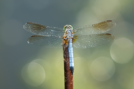 pruinose: Blue Dasher (Pachydiplax longipennis) dragonfly resting on a twig in Maryland during the Spring