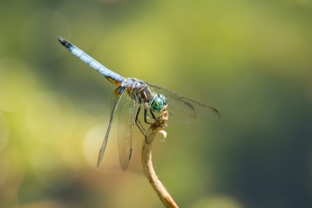 Blue Dasher (Pachydiplax longipennis) dragonfly resting on a twig in Maryland during the Spring