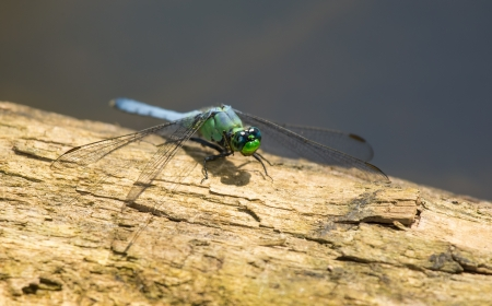 erythemis: Eastern Pondhawk (Erythemis simplicicollis) dragonfly resting on a log in Maryland during the Spring