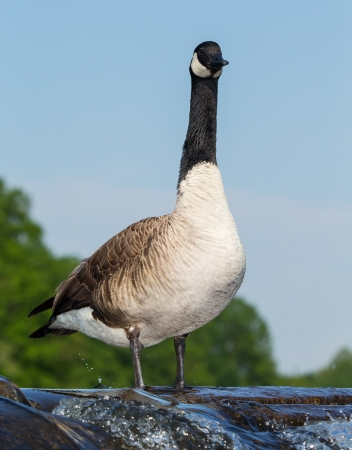 urban wildlife: Canada goose standing on a dam in Maryland during the Spring