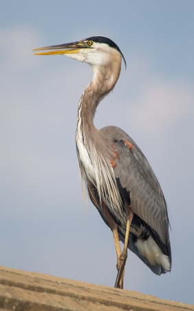 Great Blue Heron (Ardea herodias) standing on a dam in Maryland during the Spring