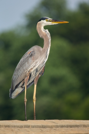 Great Blue Heron (Ardea herodias) standing on a dam in Maryland during the Spring photo