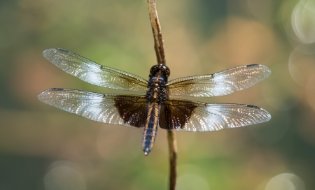 Juvenile male Widow Skimmer dragonfly resting on a twig in Maryland during the Spring