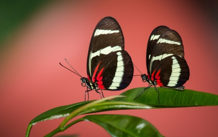 Two Sara Longwing (Heliconius sara) butterflies resting on green vegetation Archivio Fotografico
