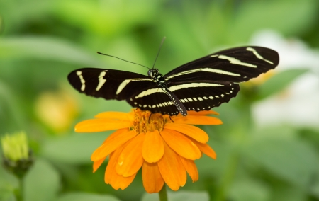 Close up of a Zebra Heliconian (Heliconius charithonia) butterfly feeding on an orange flower