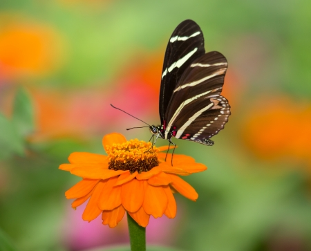 Close up of a Zebra Heliconian (Heliconius charithonia) butterfly feeding on an orange flower photo
