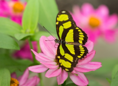 Dido Longwing Philaethria dido butterfly resting on a flower Stock Photo - 20407349