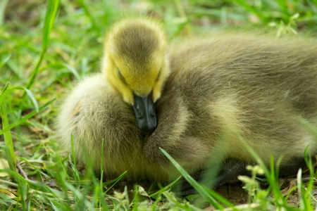 Natural image of a Canada Goose gosling Branta canadensis sleeping in grassland in Maryland during the Spring photo