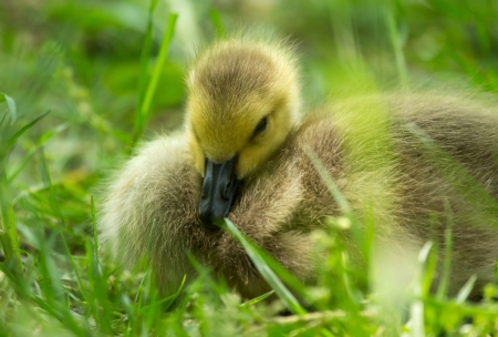 canadensis: Natural image of a Canada Goose gosling Branta canadensis sleeping in grassland in Maryland during the Spring