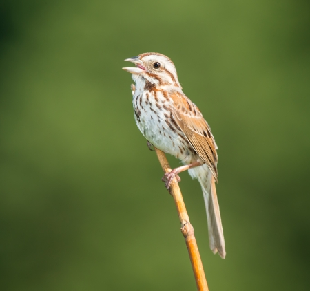 Song Sparrow Melospiza melodia perching on a twig while singing in Maryland during the Spring