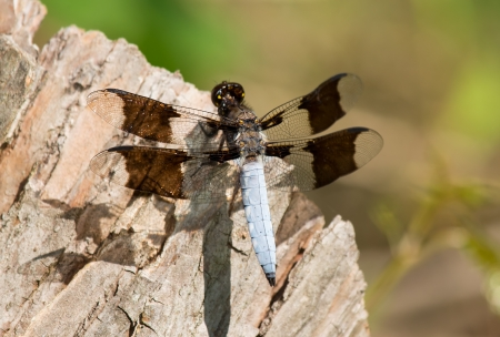 odonatology: Male Common Whitetail Plathemis lydia dragonfly perching on a log by a lake in Maryland during the Spring Stock Photo