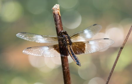 Juvenile male Widow Skimmer Libellula luctuosa dragonfly resting on a twig in Maryland during the Spring