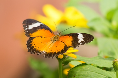 Red Lacewing butterfly Cethosia biblis feeding on a flower Stock Photo