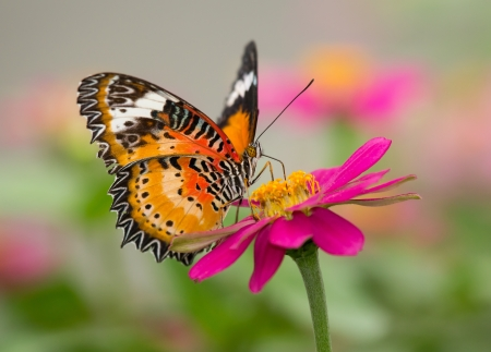 Red Lacewing butterfly Cethosia biblis feeding on a flower Archivio Fotografico