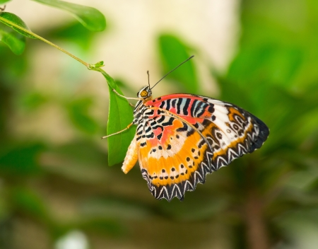 lacewing: Red Lacewing butterfly Cethosia biblis sitting on a green leaf