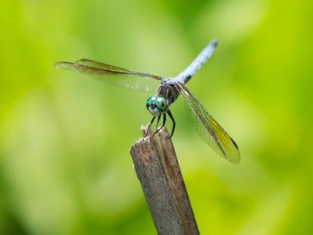 pruinescence: Male Blue Dasher dragonfly Pachydiplax longipennis resting on a twig in Maryland during the Summer