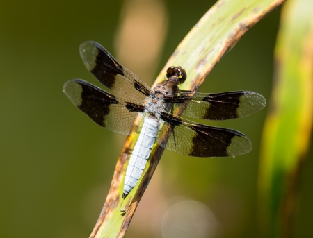 Male Common Whitetail dragonfly Plathemis lydia perching on a reed by a lake in Maryland during the Summer 版權商用圖片