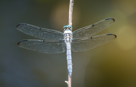 pruinose: Great Blue Skimmer dragonfly Libellula vibrans perching on a twig in Maryland during the Summer Stock Photo