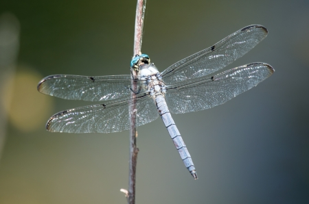 translucense: Great Blue Skimmer dragonfly Libellula vibrans perching on a twig in Maryland during the Summer Stock Photo