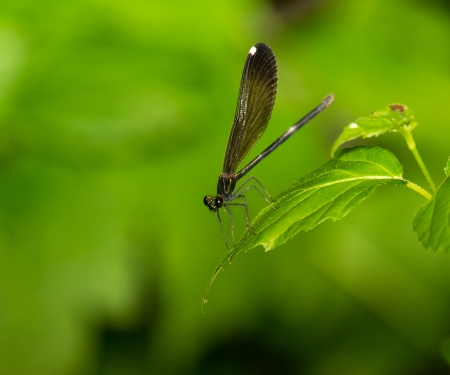 odonatology: Female Ebony Jewelwing damselfly Calopteryx maculata perching on a leaf in Maryland during the Summer